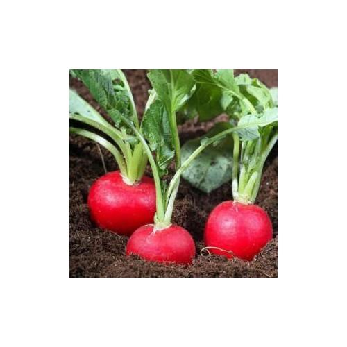 Combo 10 hạt giống củ cải khổng lồ