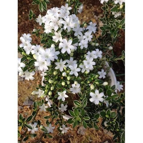 Cây hoa bạch tuyết mai bonsai lá xanh - 20715628 , 23695764 , 15_23695764 , 450000 , Cay-hoa-bach-tuyet-mai-bonsai-la-xanh-15_23695764 , sendo.vn , Cây hoa bạch tuyết mai bonsai lá xanh
