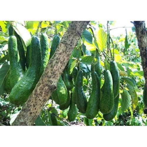 Cây giống bơ siêu trái - 17667807 , 23671050 , 15_23671050 , 150000 , Cay-giong-bo-sieu-trai-15_23671050 , sendo.vn , Cây giống bơ siêu trái