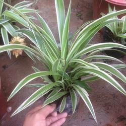 Cây cỏ lan chi, cây cỏ nhện