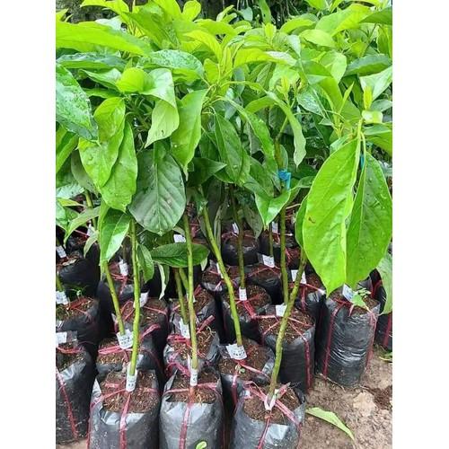Cây giống bơ sáp da xanh trái dài - 19618736 , 23733271 , 15_23733271 , 150000 , Cay-giong-bo-sap-da-xanh-trai-dai-15_23733271 , sendo.vn , Cây giống bơ sáp da xanh trái dài