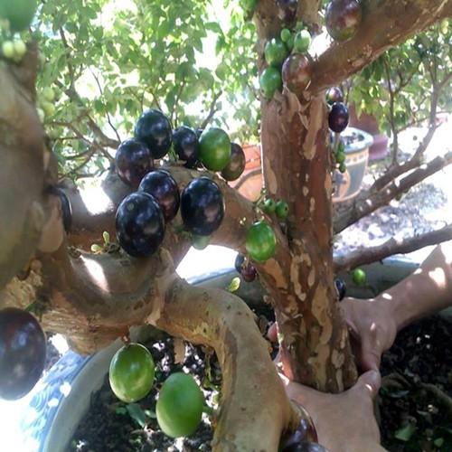 Hạt giống nho thân gỗ gói 4 hạt - 20790307 , 23812099 , 15_23812099 , 40000 , Hat-giong-nho-than-go-goi-4-hat-15_23812099 , sendo.vn , Hạt giống nho thân gỗ gói 4 hạt