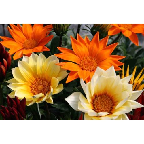 Hạt giống hoa cúc huân chương, cúc gazania nhiều màu