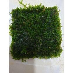 Vỉ rêu mini taiwan thuỷ sinh dùng gắn lũa bonsai trang trí thủy sinh