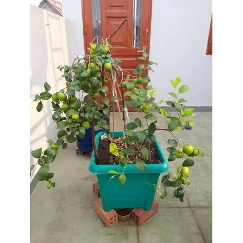 2 cây giống táo thái da xanh