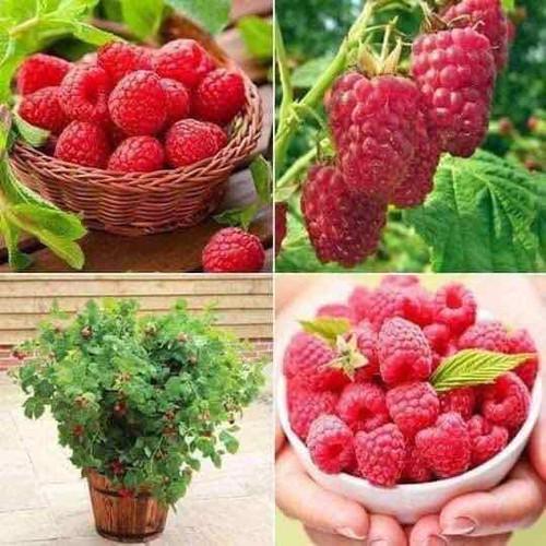 Hạt giống quả mâm xôi đỏ - 20946128 , 24031479 , 15_24031479 , 60000 , Hat-giong-qua-mam-xoi-do-15_24031479 , sendo.vn , Hạt giống quả mâm xôi đỏ