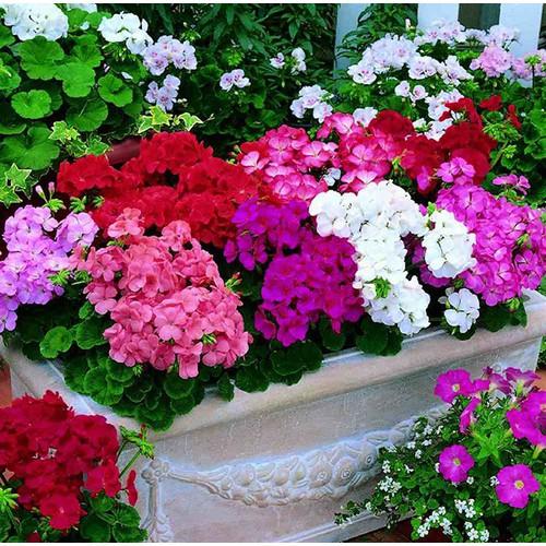 Hạt giống hoa phong lữ nhiều màu