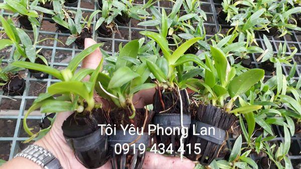 5 cây giống hoa lan dendro mini- màu- nắng lựa khác màu. cho xem hàng
