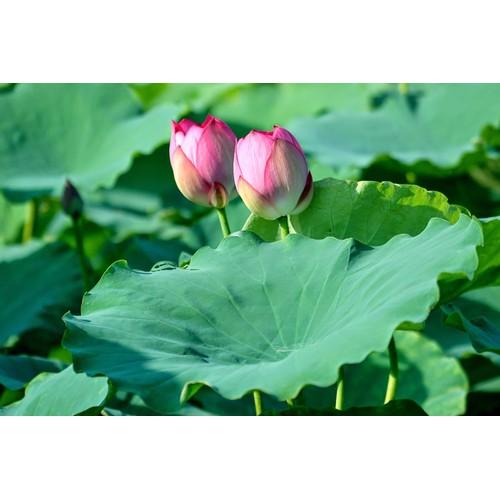 10 hạt giống hoa sen ta