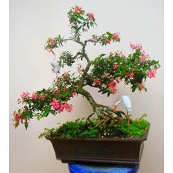 Hồng ngọc mai bonsai , cây giống gửi đi nguyên bầu