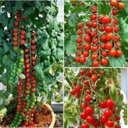 50 hạt giống cà chua chuỗi ngọc
