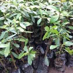 Combo 6 bầu cây cúc tần Ấn Độ dễ trồng dễ chăm sóc chuẩn giống, giá rẻ - Tặng cây lan càng cua