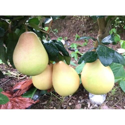 Cây giống bưởi vàng phúc kiến - 21316615 , 24551736 , 15_24551736 , 160000 , Cay-giong-buoi-vang-phuc-kien-15_24551736 , sendo.vn , Cây giống bưởi vàng phúc kiến
