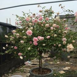 CÂY HỒNG ĐÀO - HỒNG CỔ TREE ROSE NGUYÊN BẢN