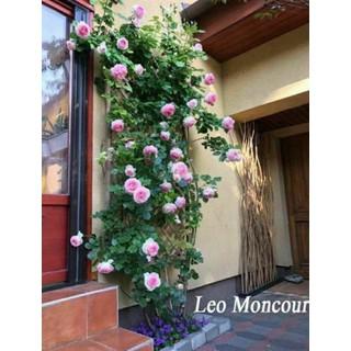 Cây Hoa hồng leo Mon Coeur - CL1 thumbnail