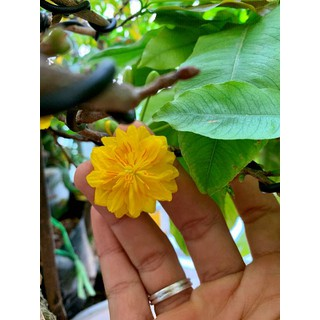 Hoa cúc mai 36 cánh_cây ghép - QS_50 thumbnail