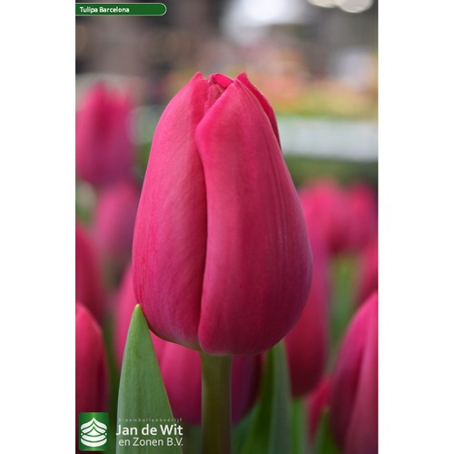 10 củ tulip hồng đã kích mầm