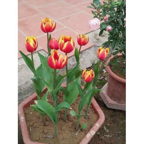 10 củ hoa tuylip