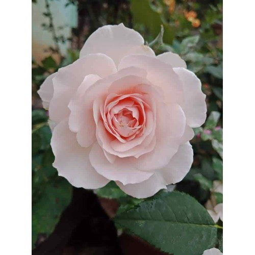 Cây hoa hồng ngoại misaki rose - 21440000 , 24712531 , 15_24712531 , 125000 , Cay-hoa-hong-ngoai-misaki-rose-15_24712531 , sendo.vn , Cây hoa hồng ngoại misaki rose
