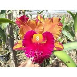 cattleya chọn màu hoa thơm cây giống