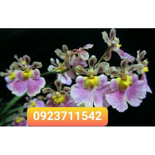 Vũ nữ bút chì hoa thơm cây giống - 19657042 , 24768893 , 15_24768893 , 40000 , Vu-nu-but-chi-hoa-thom-cay-giong-15_24768893 , sendo.vn , Vũ nữ bút chì hoa thơm cây giống