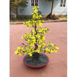 Chậu hoa mai dáng bonsai