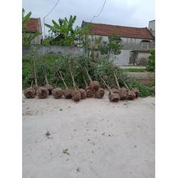 Cây Hoa  Hồng Tree Cổ  SAPA Lớn