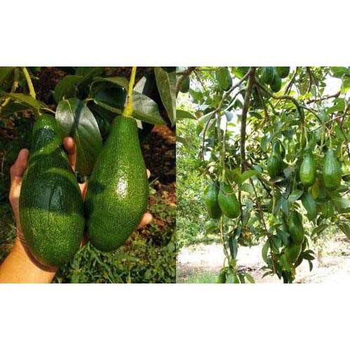 Cây giống bơ sáp trái dài - 19748725 , 24882942 , 15_24882942 , 150000 , Cay-giong-bo-sap-trai-dai-15_24882942 , sendo.vn , Cây giống bơ sáp trái dài