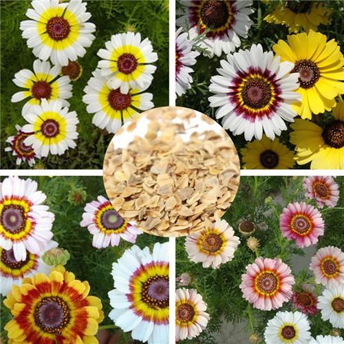 Bán buôn hạt giống hoa cúc chi mix nhiều màu bao đẹp