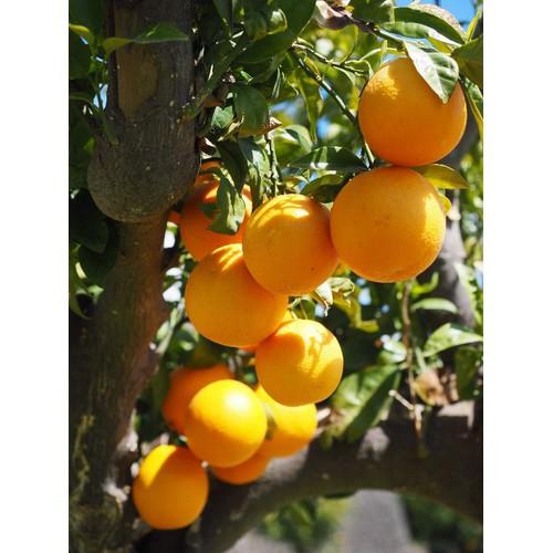 2 cây giống cam vàng mỹ