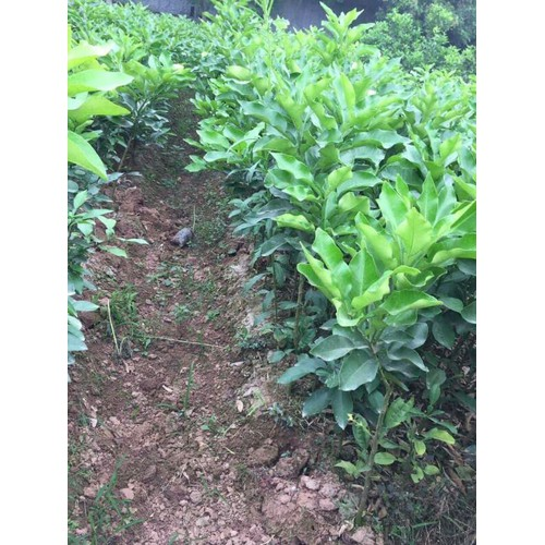 2 cây giống bưởi vàng phúc kiến - 19761279 , 24899834 , 15_24899834 , 160000 , 2-cay-giong-buoi-vang-phuc-kien-15_24899834 , sendo.vn , 2 cây giống bưởi vàng phúc kiến