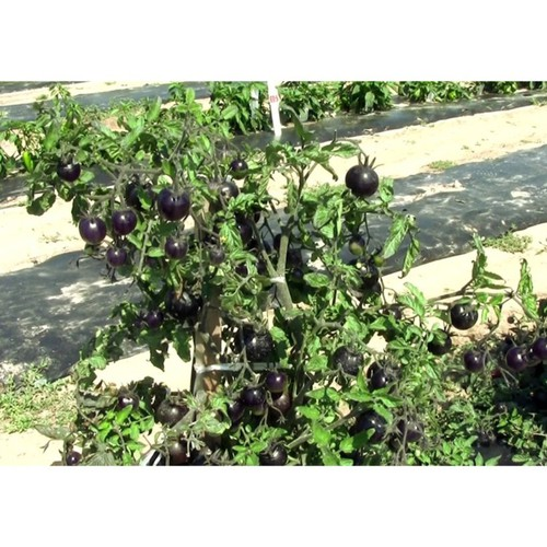 Bán buôn hạt giống cà chua đen qủa to năng suất gói 10 hạt bao đẹp