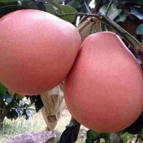 2 cây giống bưởi vàng phúc kiến - 19769223 , 24913618 , 15_24913618 , 160000 , 2-cay-giong-buoi-vang-phuc-kien-15_24913618 , sendo.vn , 2 cây giống bưởi vàng phúc kiến