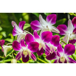 3 cây hoa phong lan denro sonia
