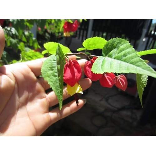 Cây giống hoa lồng đèn đỏ Hội An leo - 7331237 , 13991603 , 15_13991603 , 40000 , Cay-giong-hoa-long-den-do-Hoi-An-leo-15_13991603 , sendo.vn , Cây giống hoa lồng đèn đỏ Hội An leo