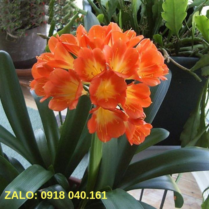 hoa lan quân tử cây lớn 1