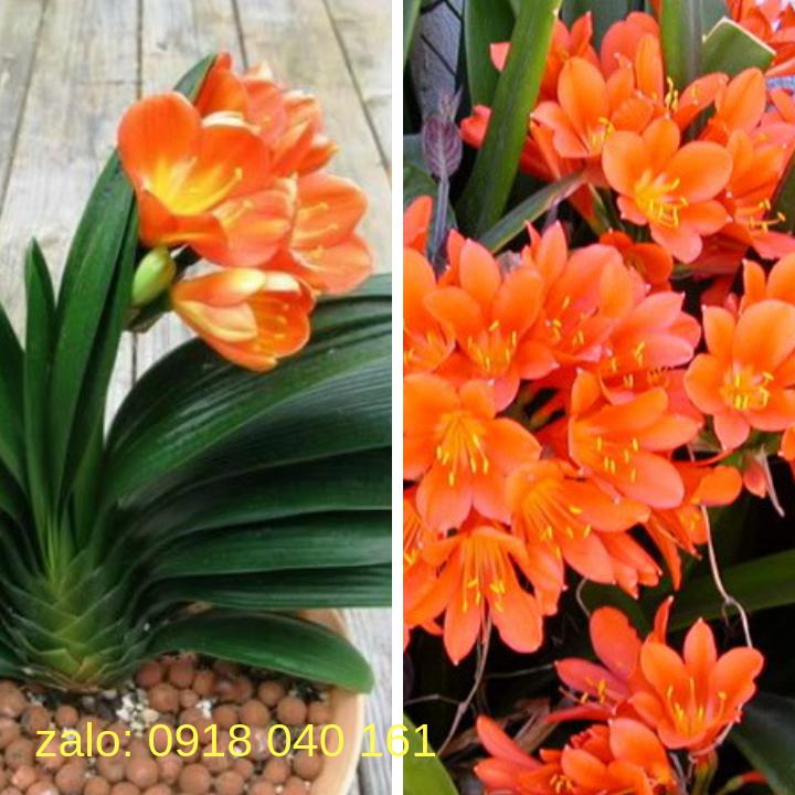 hoa lan quân tử cây lớn 3