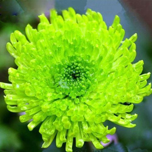 SET 2 gói hạt giống Cúc Zinnia xanh F1 LUCKY SEEDS TẶNG 1 phân bón