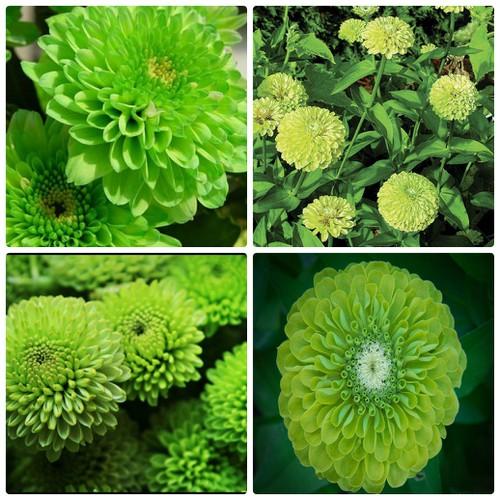 SET 5 gói hạt giống Cúc Zinnia xanh F1 LUCKY SEEDS TẶNG 1 phân bón