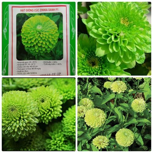 Hạt giống Cúc Zinnia xanh F1 LUCKY SEEDS - 50 hạt