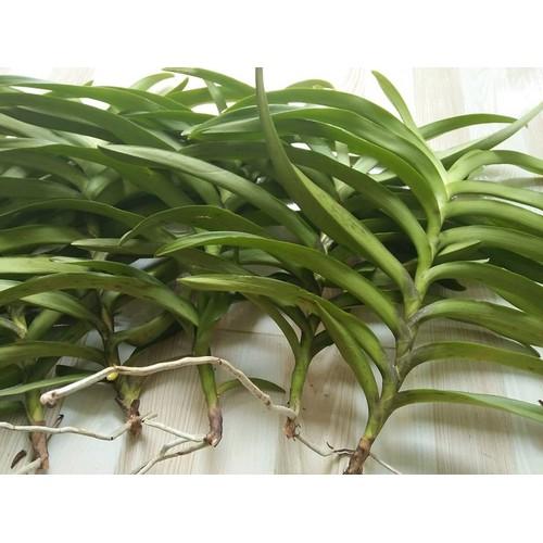Lan Mokara cây giống - 10996796 , 14197202 , 15_14197202 , 50000 , Lan-Mokara-cay-giong-15_14197202 , sendo.vn , Lan Mokara cây giống