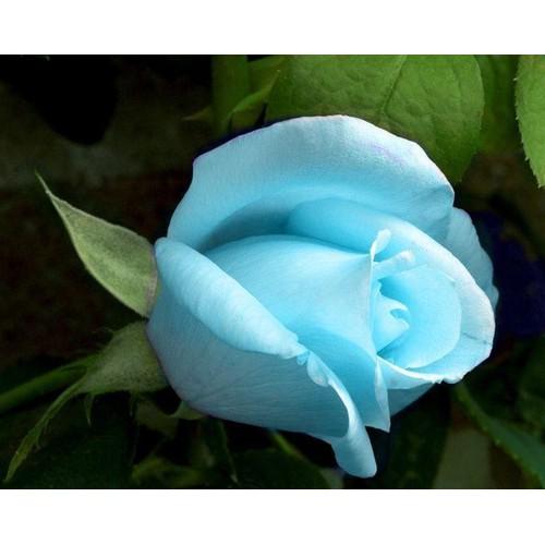 Hạt giống hoa hồng leo màu xanh thiên thanh bán lẻ 30 hạt - 11008462 , 16007517 , 15_16007517 , 10000 , Hat-giong-hoa-hong-leo-mau-xanh-thien-thanh-ban-le-30-hat-15_16007517 , sendo.vn , Hạt giống hoa hồng leo màu xanh thiên thanh bán lẻ 30 hạt