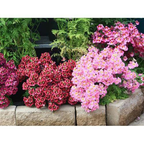 COMBO 10 gói hạt giống hoa bướm Cali F1 TẶNG 1 phân bón - 4671254 , 16046774 , 15_16046774 , 169000 , COMBO-10-goi-hat-giong-hoa-buom-Cali-F1-TANG-1-phan-bon-15_16046774 , sendo.vn , COMBO 10 gói hạt giống hoa bướm Cali F1 TẶNG 1 phân bón