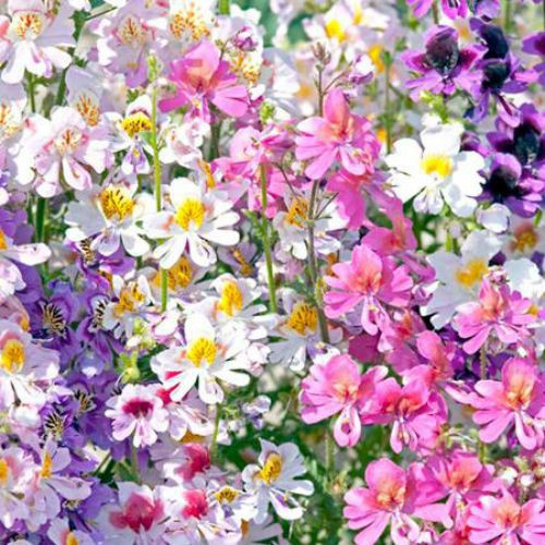 Hạt giống hoa bướm Cali F1 LUCKY SEEDS