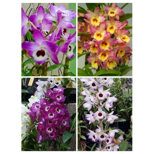 hoa phong lan dendro xuân chậu to hoa tết - 10943320 , 13872133 , 15_13872133 , 310000 , hoa-phong-lan-dendro-xuan-chau-to-hoa-tet-15_13872133 , sendo.vn , hoa phong lan dendro xuân chậu to hoa tết