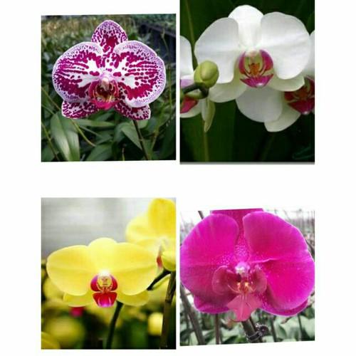 15 cây  hoa phong lan hồ điệp giống mix màu - 10943855 , 13886838 , 15_13886838 , 405000 , 15-cay-hoa-phong-lan-ho-diep-giong-mix-mau-15_13886838 , sendo.vn , 15 cây  hoa phong lan hồ điệp giống mix màu