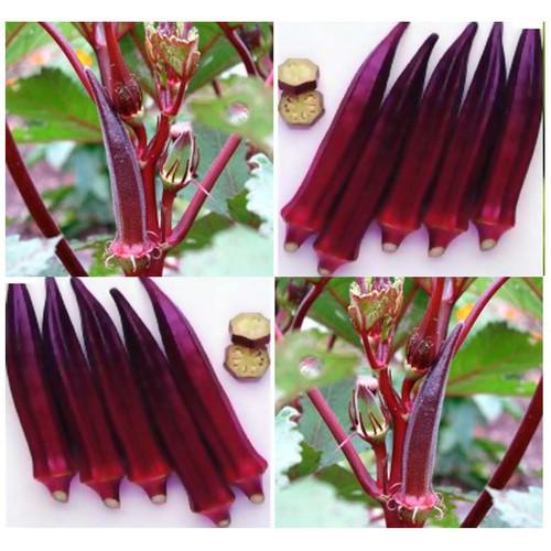 Hạt Giống Đậu Bắp Đỏ 5g - Dễ Trồng, Năng Suất Cao