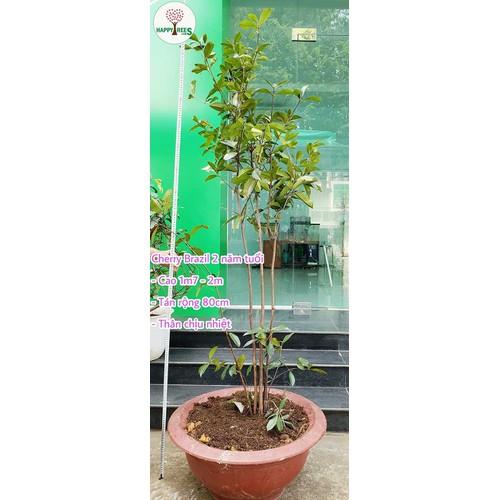 Cây Cherry Brazil 2 Năm Tuổi
