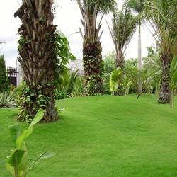 hạt giống cỏ nhung nhật cỏ sân vườn