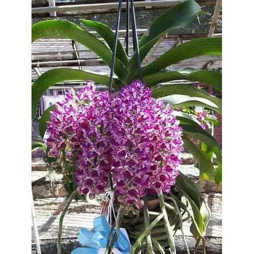 Hoa lan Ngọc điểm giống bộ 5 cây đủ màu - 11006152 , 14218242 , 15_14218242 , 150000 , Hoa-lan-Ngoc-diem-giong-bo-5-cay-du-mau-15_14218242 , sendo.vn , Hoa lan Ngọc điểm giống bộ 5 cây đủ màu